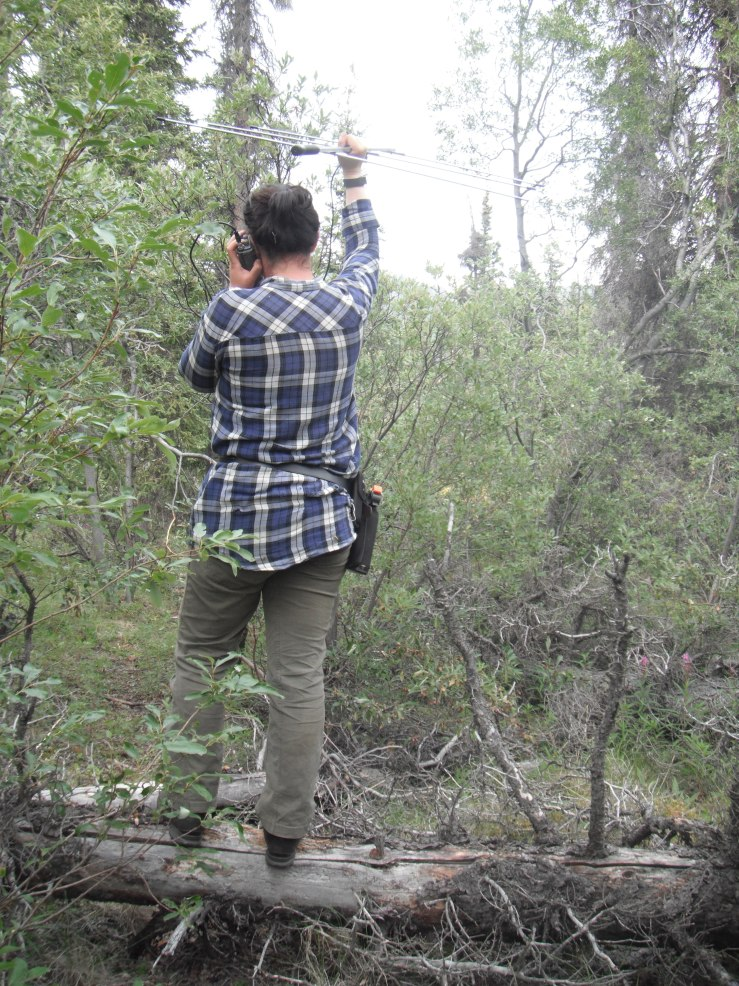 Searching for a bunny using my telemetry equipment.JPG