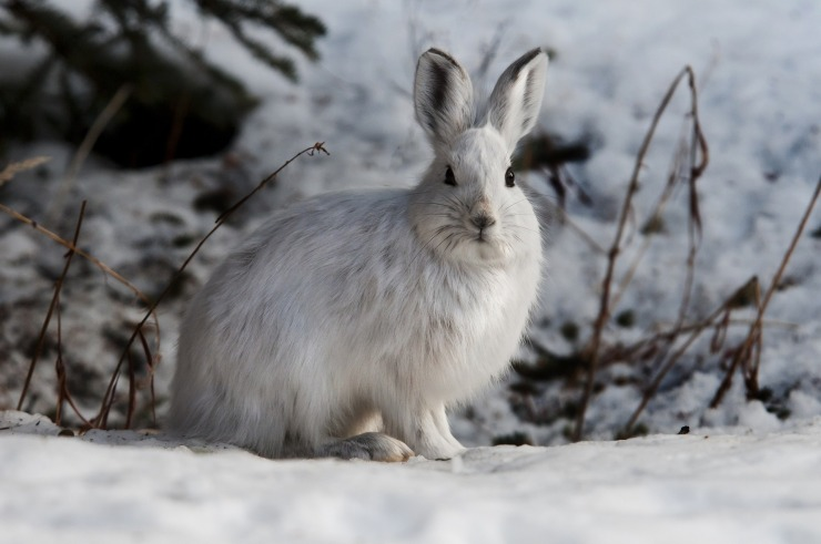 snowshoe-hare-1100831_1920.jpg